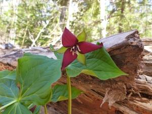 Trillium blooming