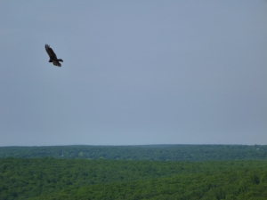 Turkey Vulture Soars